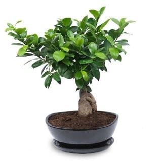 Ginseng bonsai ağacı özel ithal ürün  Hakkari çiçek siparişi sitesi