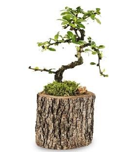 Doğal kütükte S bonsai ağacı  Hakkari çiçekçi telefonları