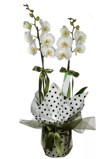 Çift Dallı Beyaz Orkide  Hakkari uluslararası çiçek gönderme