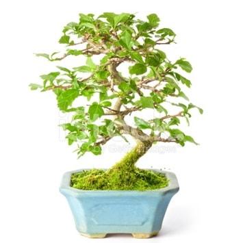 S zerkova bonsai kısa süreliğine  Hakkari çiçek yolla , çiçek gönder , çiçekçi