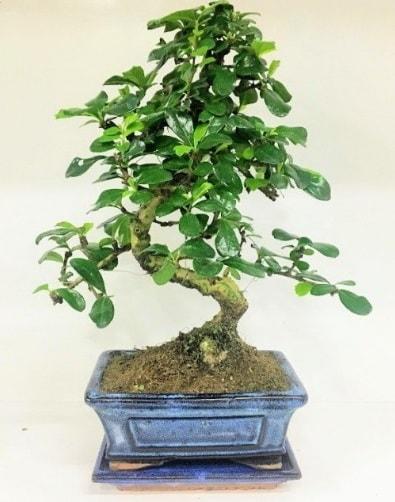 S Bonsai japon ağacı bitkisi  Hakkari cicekciler , cicek siparisi