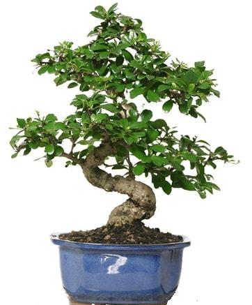 21 ile 25 cm arası özel S bonsai japon ağacı  Hakkari çiçek gönderme