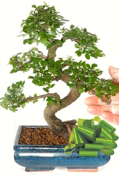 Yaklaşık 25 cm boyutlarında S bonsai  Hakkari çiçekçi mağazası