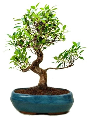 25 cm ile 30 cm aralığında Ficus S bonsai  Hakkari İnternetten çiçek siparişi