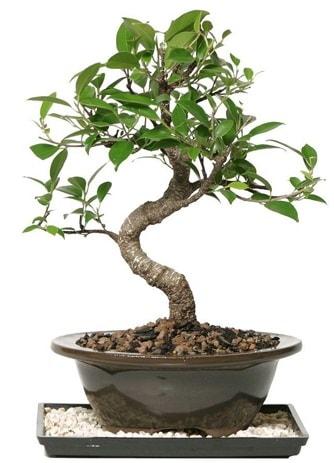 Altın kalite Ficus S bonsai  Hakkari çiçek gönderme  Süper Kalite