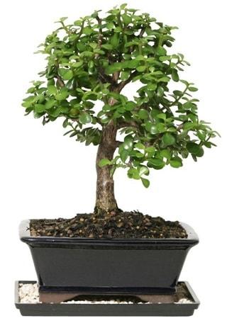 15 cm civarı Zerkova bonsai bitkisi  Hakkari çiçekçi mağazası