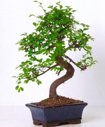 S gövdeli bonsai minyatür ağaç japon ağacı  Hakkari İnternetten çiçek siparişi