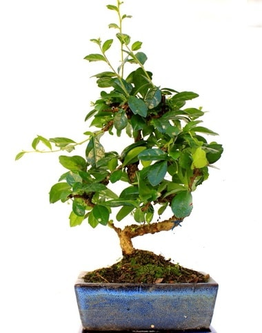 S gövdeli carmina bonsai ağacı  Hakkari çiçek gönderme sitemiz güvenlidir  Minyatür ağaç