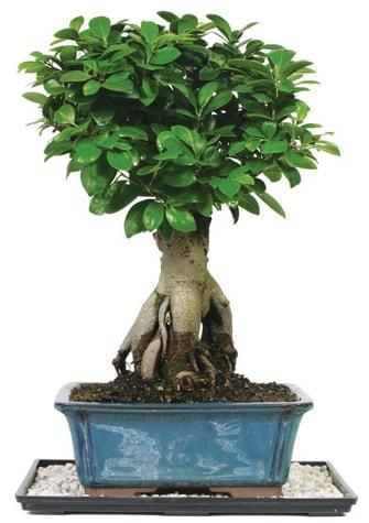 Bonsai Ginsing Grafted Ficus Bonsai  Hakkari çiçek gönderme sitemiz güvenlidir