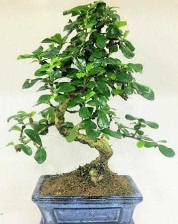 Zelkova S gövdeli Minyatür ağaç Bonzai  Hakkari çiçek yolla