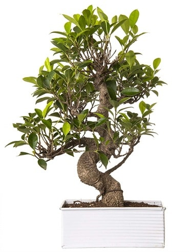 Exotic Green S Gövde 6 Year Ficus Bonsai  Hakkari İnternetten çiçek siparişi