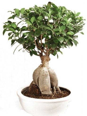 Ginseng bonsai japon ağacı ficus ginseng  Hakkari çiçek yolla , çiçek gönder , çiçekçi